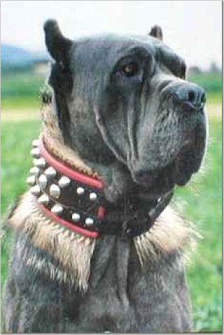 Visual History Of Bull And Mastiff Dogs Midgard Mastiffs