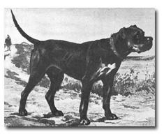 Как выглядели первые бульмастифы Bullmastiff