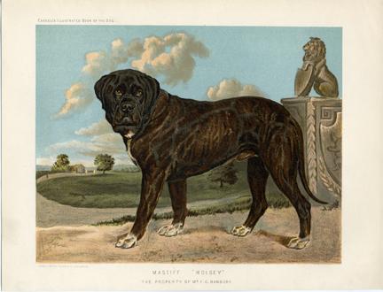 Как выглядели первые бульмастифы Mastiff