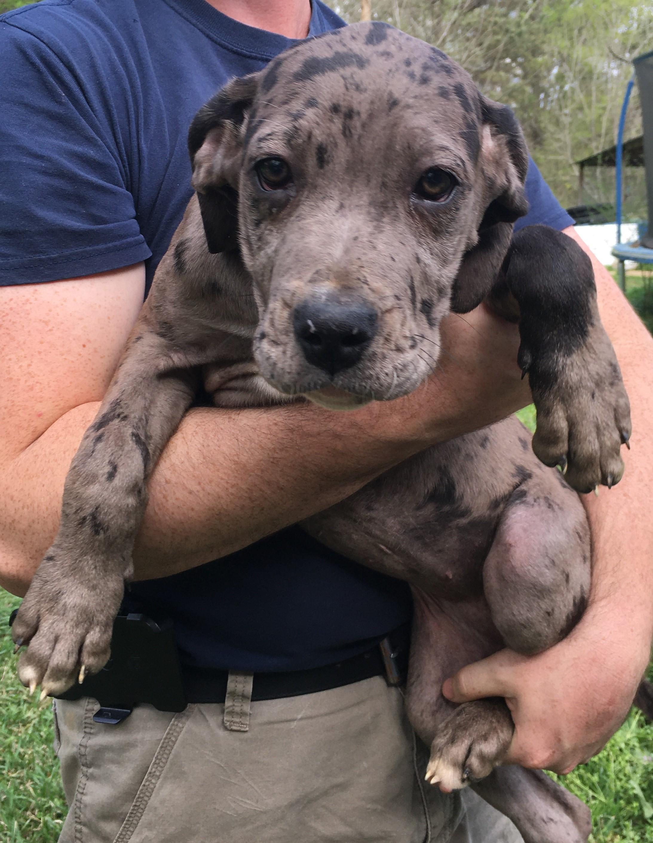 Merle Female pup 2 – Midgard Mastiffs